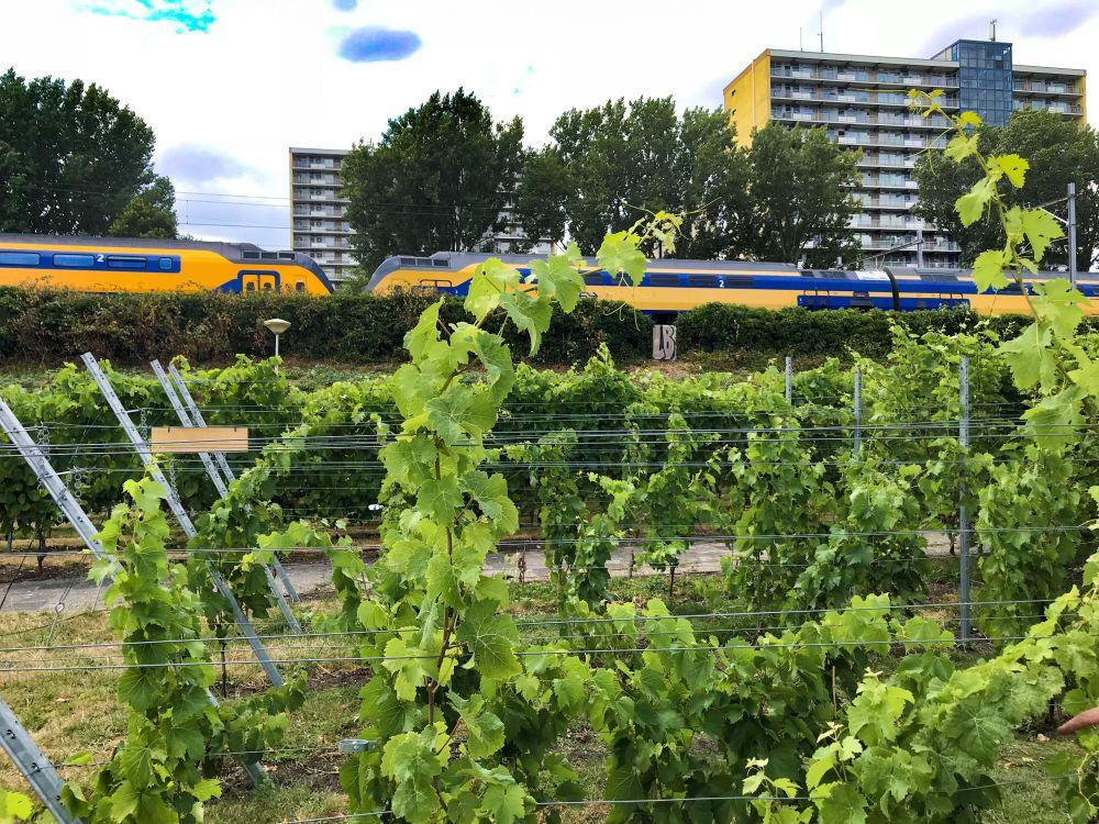 Haagse Stadswijngaard in Laakkwartier