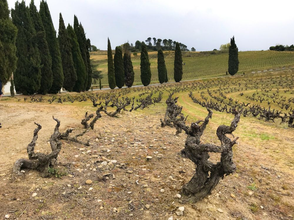 bush vines van viura bij Señorio de Sarria in Puento la Reina